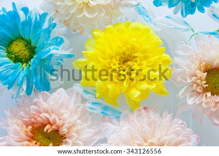 Sweet color chrysanthemum flowers. Accent the vivid yellow flower at center.  - stock photo
