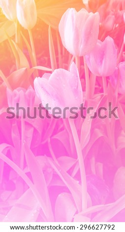 sweet color tulips in soft and blur style