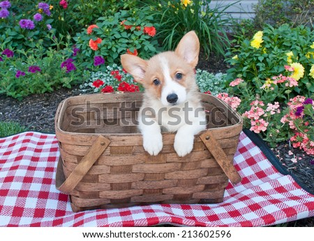 Sweet Corgi puppy sitting in a picnic basket outside with flowers all around her. - stock photo