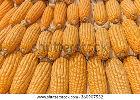 Sweet Corn of Agricultural products in farm.