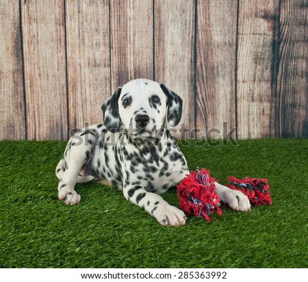 Sweet Dalmatian puppy laying in the grass outdoors with his dog toy, along with copy space.