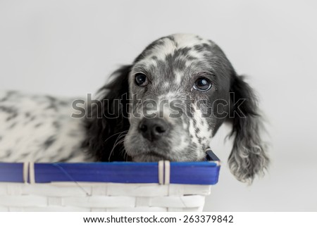 Sweet eyes of puppy dog in a wood basket. Studio light - stock photo