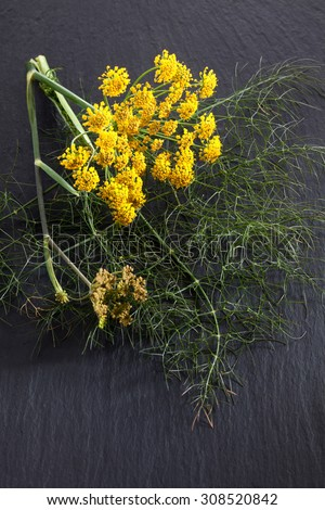 Sweet fennel, medicinal herb - stock photo