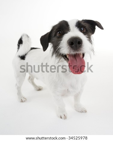 Sweet Jack Russel terrier - stock photo