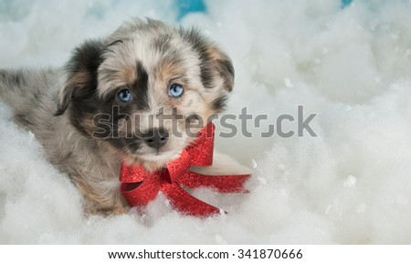 Sweet little Australian Shepherd puppy laying in the snow wearing a red Christmas bow. - stock photo