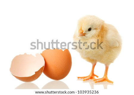 sweet little baby chicken with egg on white background - stock photo