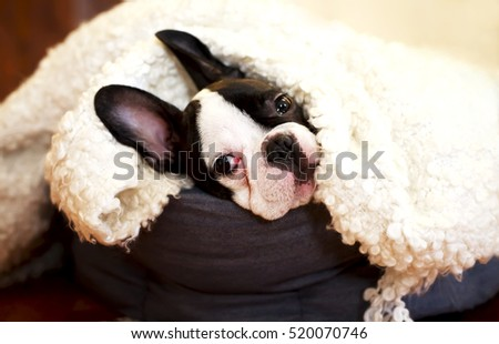 sweet little French bulldog in bed