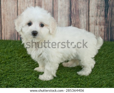 Sweet little Maltipoo puppy standing in the grass outdoors with a wooden fence behind her.