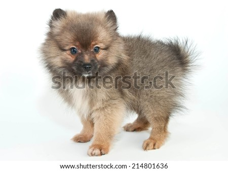 Sweet little Pom puppy standing on a white background.