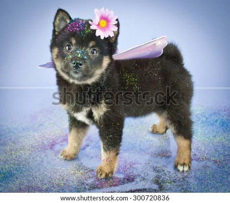 Sweet little Sheba Inu puppy dressed up in a fairy princess outfit with glitter on and around her, on a purple background.