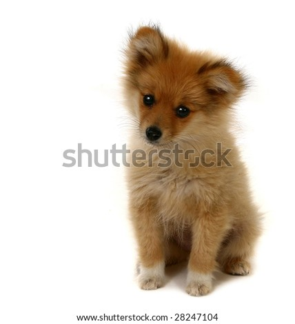 Sweet Looking Pomeranian Puppy on White With Copy Space - stock photo