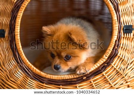 Good Pomeranian Canine Adorable Dog - stock-photo-sweet-lovely-adorable-new-born-little-pomeranian-furry-puppy-with-kind-muzzle-and-innocent-eyes-1040334652  Picture_32562  .jpg