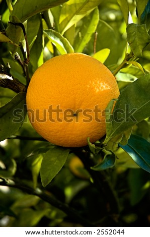 Sweet naval orange hanging on the tree