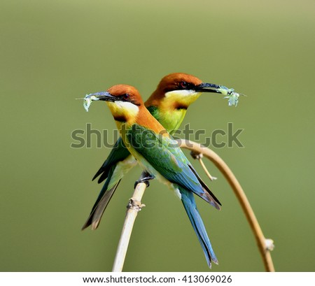 Sweet pair of chestnut-headed bee-eater (Merops leschenaulti) beautiful orange head, green body and blue tail birds perching on curve branch holding butterfly to feed chicks in the hole nest - stock photo