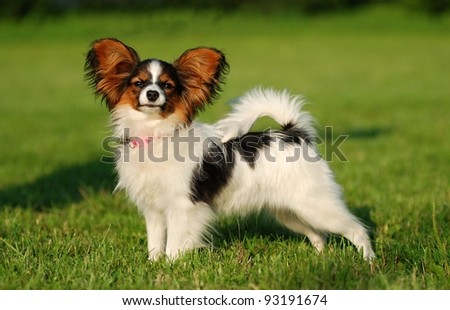 Sweet papillon puppy