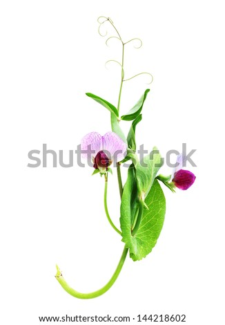 Sweet pea flowers isolated on white stock photo royalty free sweet pea flowers isolated on white background mightylinksfo