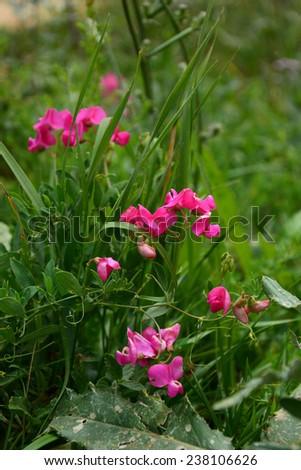 Sweet pea (Lathyrus odoratus) on soft green background - stock photo