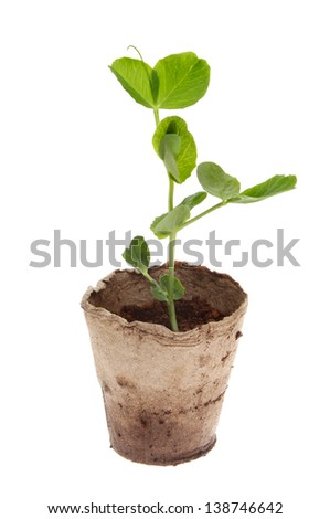 Sweet pea seedling in coir pot isolated against white