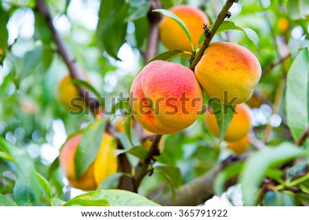 Sweet peach fruits growing on a peach tree branch - stock photo