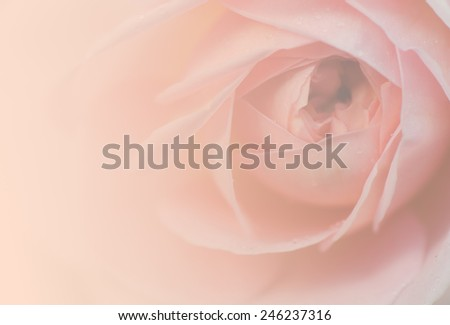 Sweet peach rose, Jubilee Celebration Rose, English Rose, blurred style for soft background. - stock photo