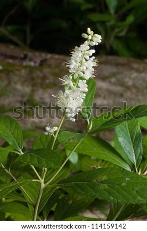 Sweet Pepperbush (Clethra alnifolia) - stock photo