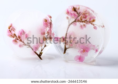 sweet pink flower frozen in ice cubes, isolated on white background - stock photo