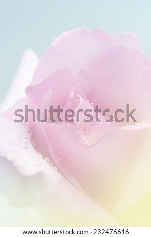 Sweet pink rose in soft style may use for background. Rose flower background.