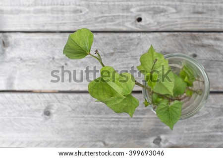 Sweet potato germination technique in a glass jar on wooden background - stock photo