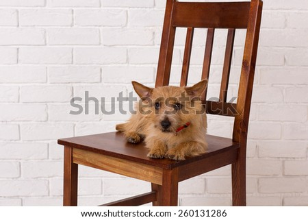 Sweet puppy dog is resting on a white background. The breed of the dog is a Cairn Terrier - stock photo