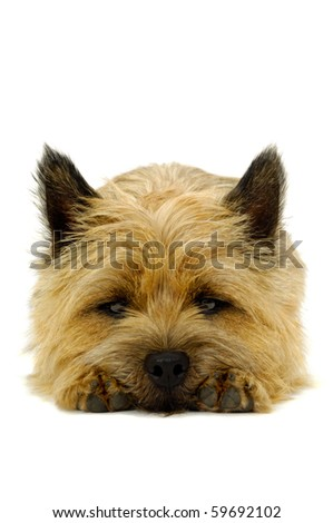 Sweet puppy dog is resting on a white background. The breed of the dog is a Cairn Terrier.