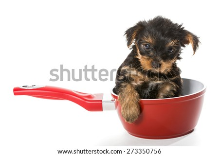 Sweet Puppy Yorkshire Terrier in a red pot isolated on white background - stock photo