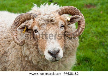 sweet sheep with horns, frontal portrait against a green grass background - stock photo