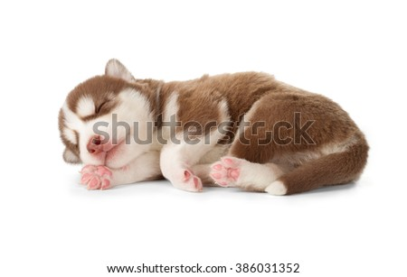 Sweet Siberian husky puppy. Sleeping, side view, isolated on white. - stock photo