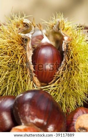 sweet tasty chestnuts freshly harvested and ripe for roasting - stock photo