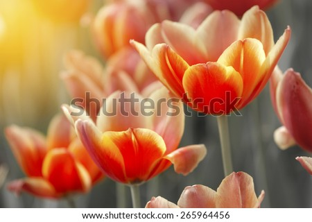 Sweet Tulips and filtered image. Flower background. - stock photo