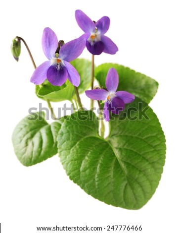 sweet violet, viola odorata isolated on white background - stock photo