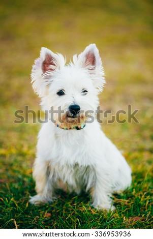 Sweet West Highland White Terrier - Westie, Westy Dog Portrait - stock photo