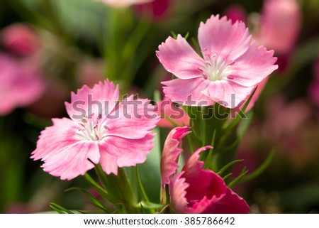 Sweet William's cute pink flowers (Dianthus barbatus)