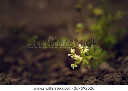 Sweet woodruff coming into bloom with its small white funnel-shaped scented flowers and leaves used in perfumery and to flavor alcoholic drinks, close up of flowers in the garden with copy space - stock photo