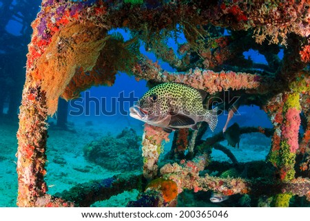 Sweetlips and tropical fish around an underwater structure - stock photo