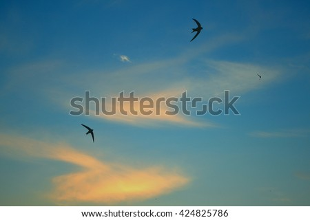 Swifts Birds fly in the sky among the clouds Ukraine