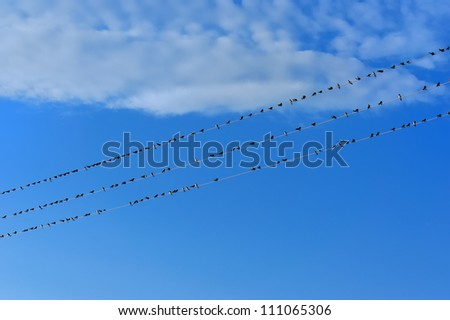 Swifts on wires - stock photo
