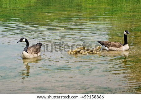 Swimming Canadian geese with goslings on the pond - stock photo