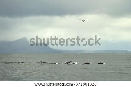 Swimming Cape fur seal (Arctocephalus pusillus pusillus)in the Atlantic ocean. South Africa - stock photo