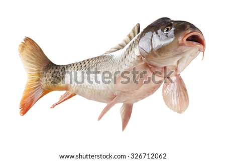 Swimming common carp fish with open mouth. Bottom view isolated on white background - stock photo
