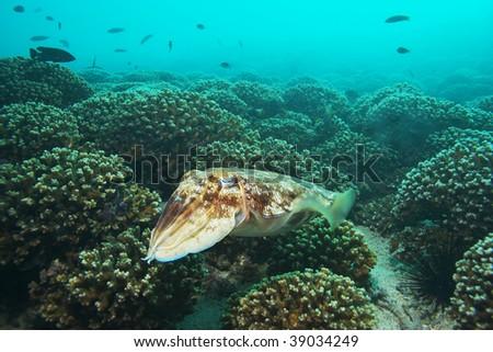 swimming cuttlefish - stock photo