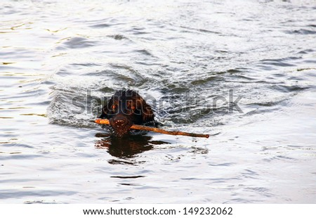 Swimming dog with a stick - stock photo