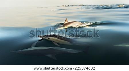 Swimming dolphins  ( common Dolphin \ Delphinus Capensis \ Delphinus delphis )in the ocean - stock photo