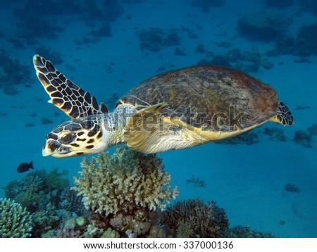 Swimming hawksbill turtle - stock photo