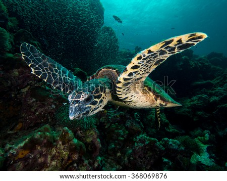 Swimming hawksbill turtle